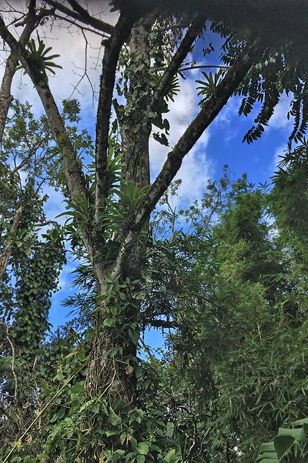 Großer Soldatenare Tiefregenwald Boca Tapada
