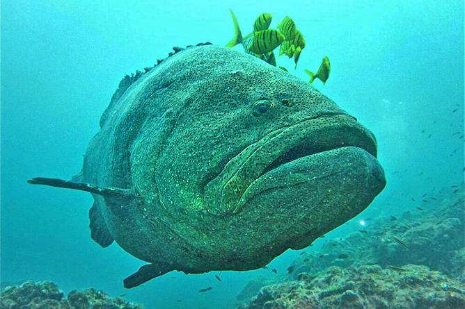 Isla Violin Tauchen Insel Caño Jewfish