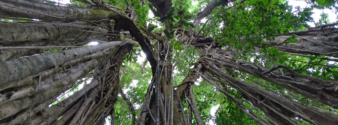 La Tarde Urwaldbäume Kronen