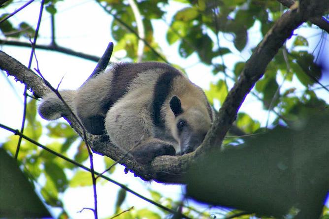 Osa Wild Nationalpark-Corcovado Ameisenbär