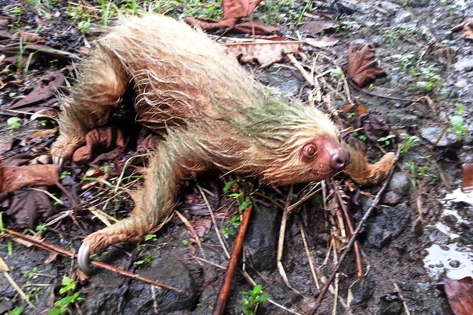 Osa Wild Nationalpark-Corcovado Faultier