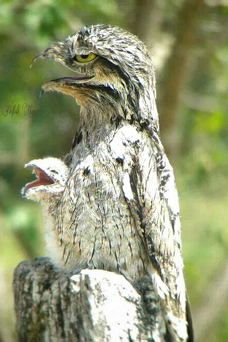 Osa Wild Nationalpark-Corcovado Nyctibius griseus