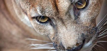Nationalpark-Corcovado_Puma_Foto-Osa-Wild_12-2018