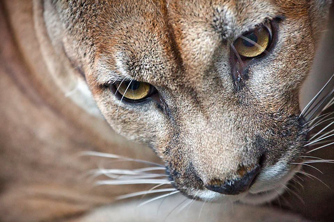 Osa Wild Nationalpark-Corcovado Puma