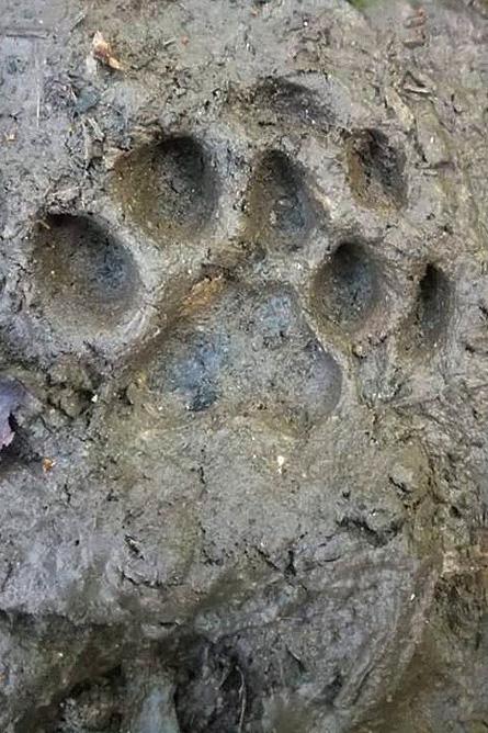 Osa Wild Nationalpark-Corcovado Raubkatzen-Spuren