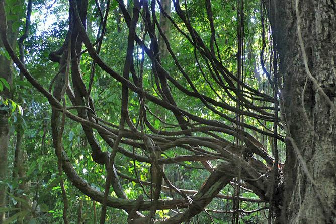 Osa Wild Nationalpark-Corcovado Regenwaldbaum