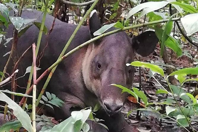 Osa Wild Nationalpark-Corcovado Tapir