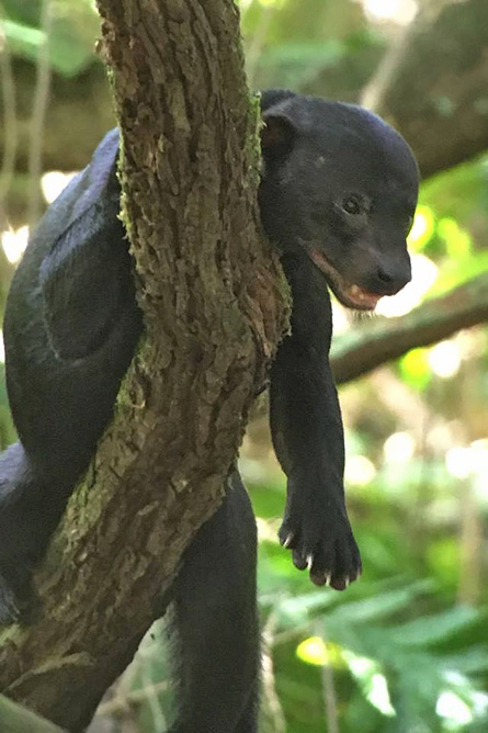 Osa Wild Nationalpark-Corcovado Tayra barbara Tolomuco