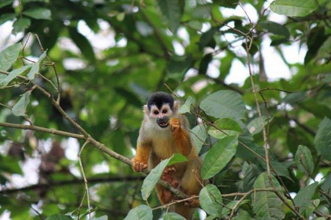 Osa Wild Nationalpark-Corcovado Totenkopfäffchen