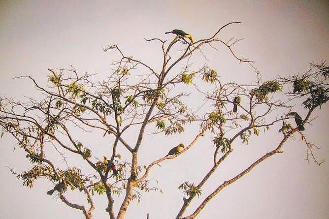 Osa Wild Nationalpark-Corcovado Tukane