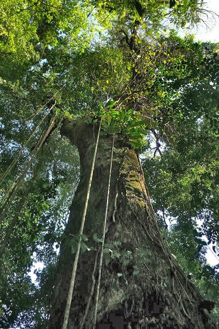 Osa Wild Nationalpark-Corcovado Urwaldriesen