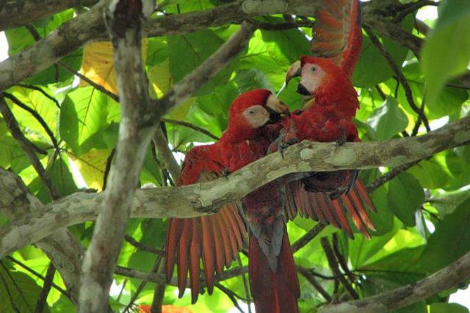 Osa Wild Nationalpark-Corcovado rote Aras