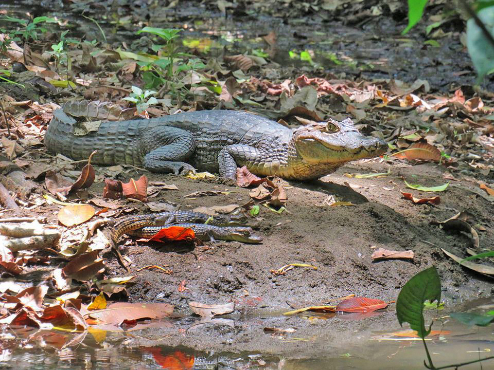 Pacheco – Sirena Krokodile am Fluss