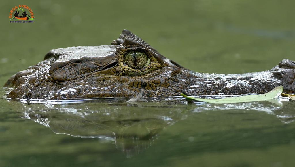 Canoa Tours Caño Negro Krokodil