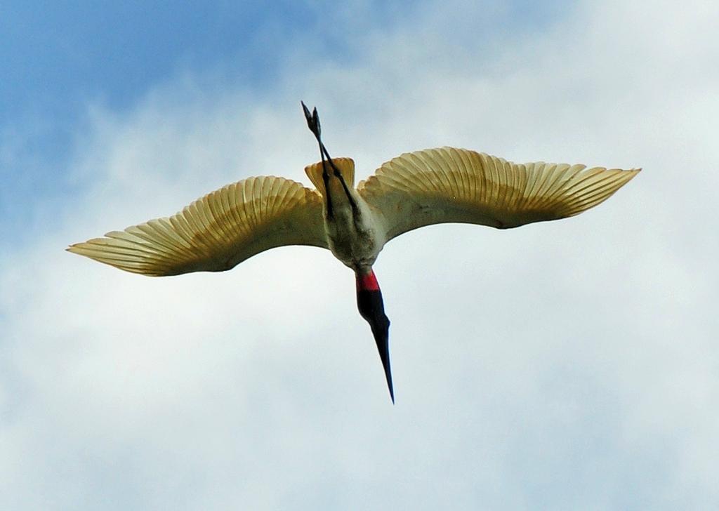 Canoa Tours Caño Negro fliegender Storch