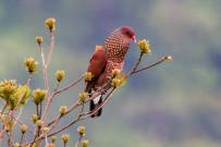 Casa-Botania-Birding-Tour-Schuppenbauch-Tauben-scaled-pigeons