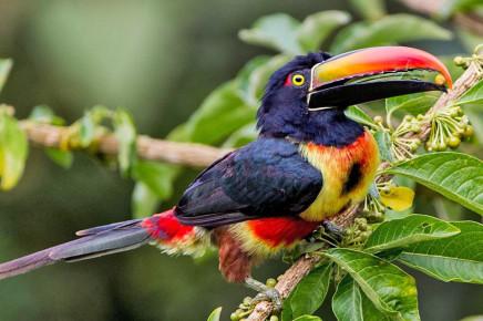 Casa Botania Birding Tour Tukan