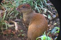 Aguti Reservat - ein Aguti