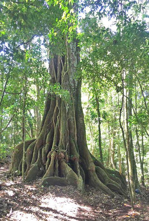 Aguti Reservat – Baum