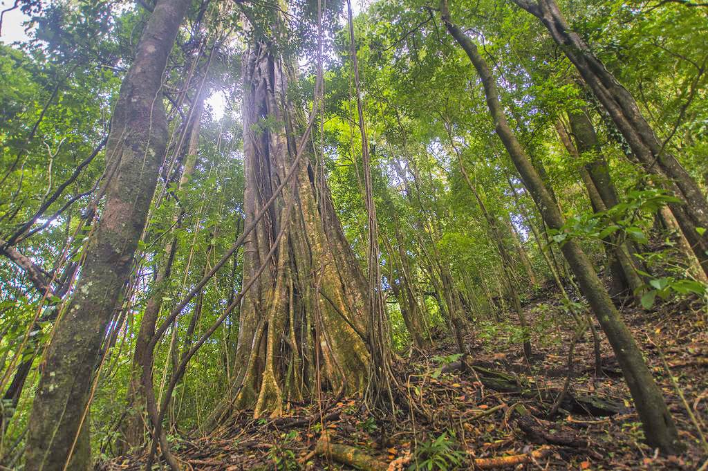 Aguti Reservat – Baumspezies