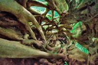 Aguti Reservat - Ficus Baum