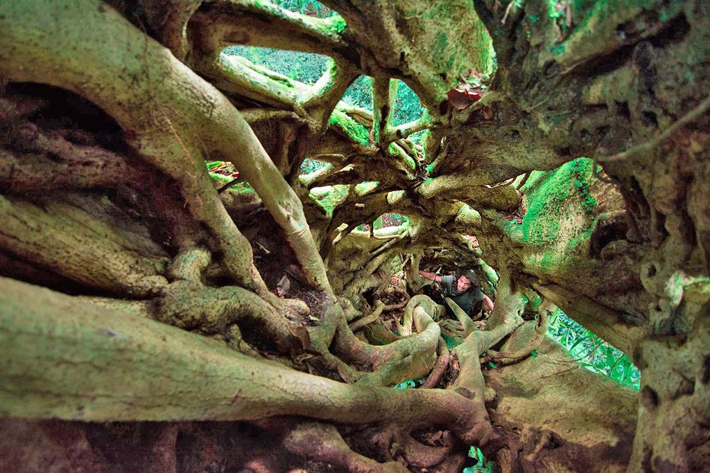 Aguti Reservat – Ficus Baum
