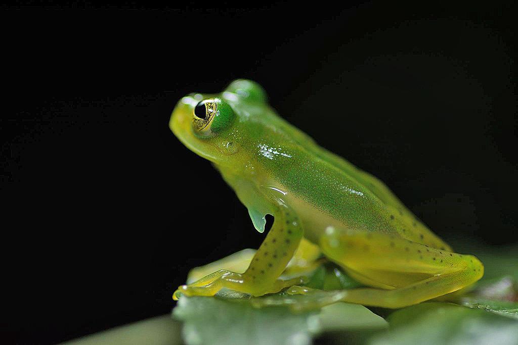 Aguti Reservat – Frosch