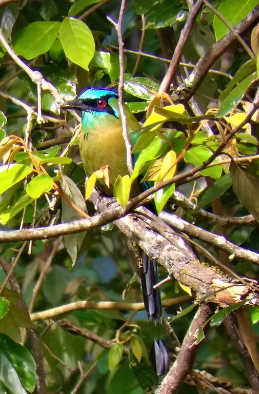 Aguti Reservat – Motmot Vogel