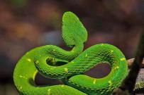 Aguti Reservat - Schlange