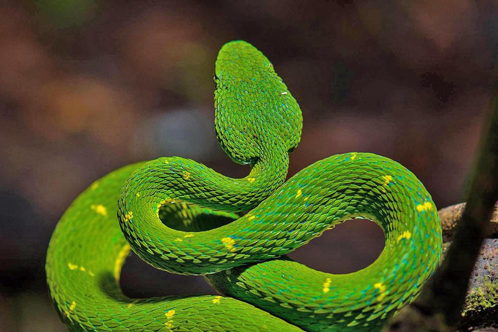 Aguti Reservat – Schlange