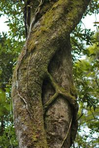 Aguti Reservat - Würgefeige