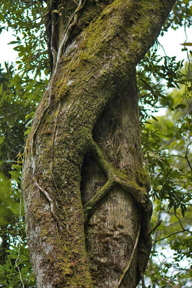 Aguti Reservat – Würgefeige