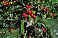 Café Cristina Bio-Kaffee Finca in Orosi - Coffee Tour: Reife Kaffeefrüchte