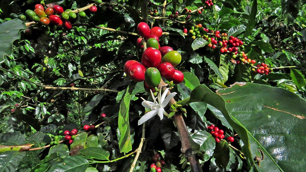 Café Cristina Bio-Kaffee Finca in Orosi – Coffee Tour: Reife Kaffeefrüchte
