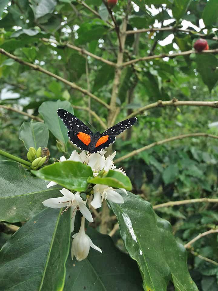 Café Cristina Bio-Kaffee Finca in Orosi – Coffee Tour: Schmetterling