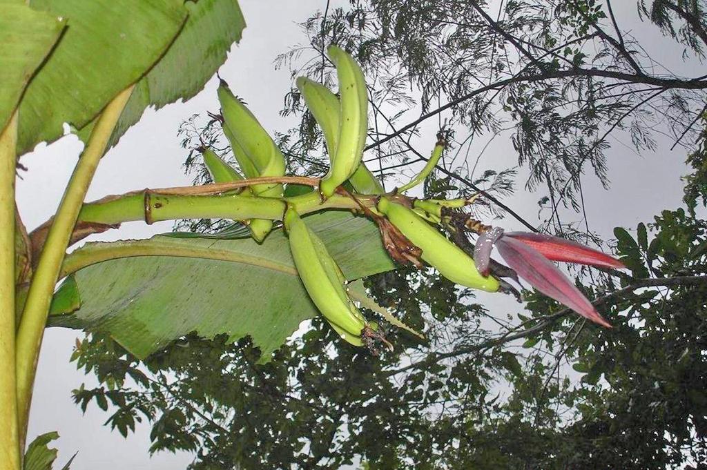 Posada Cerro Escondido – Reservat Mogensen: Bananenstaude