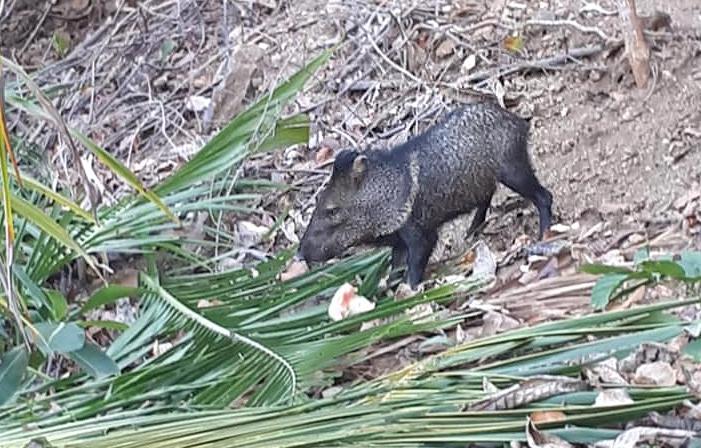 Curú Refugium – Wildschwein