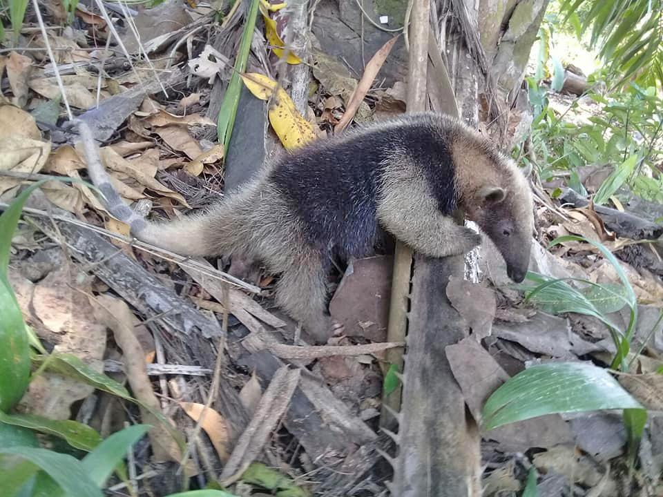 Curú Wildarten-Refugium –  junger Ameisenbär