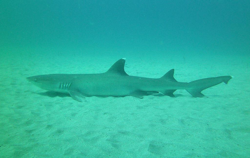 Isla Caño – Tauchen in Costa Rica: ein Hai