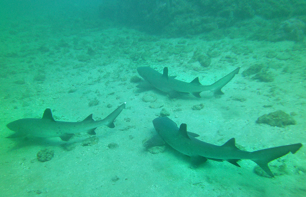 Isla Caño – Tauchen in Costa Rica: Haie