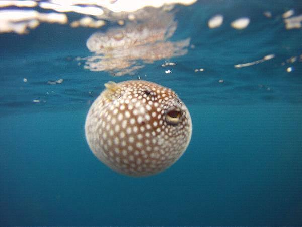 Isla Caño – Tauchen in Costa Rica: ein Kugelfisch