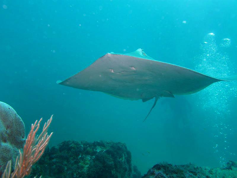 Isla Caño – Tauchen in Costa Rica: ein Mantarochen