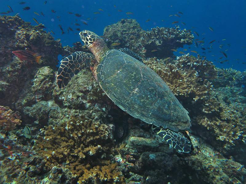 Isla Caño – Tauchen in Costa Rica: eine Meeresschildkröte