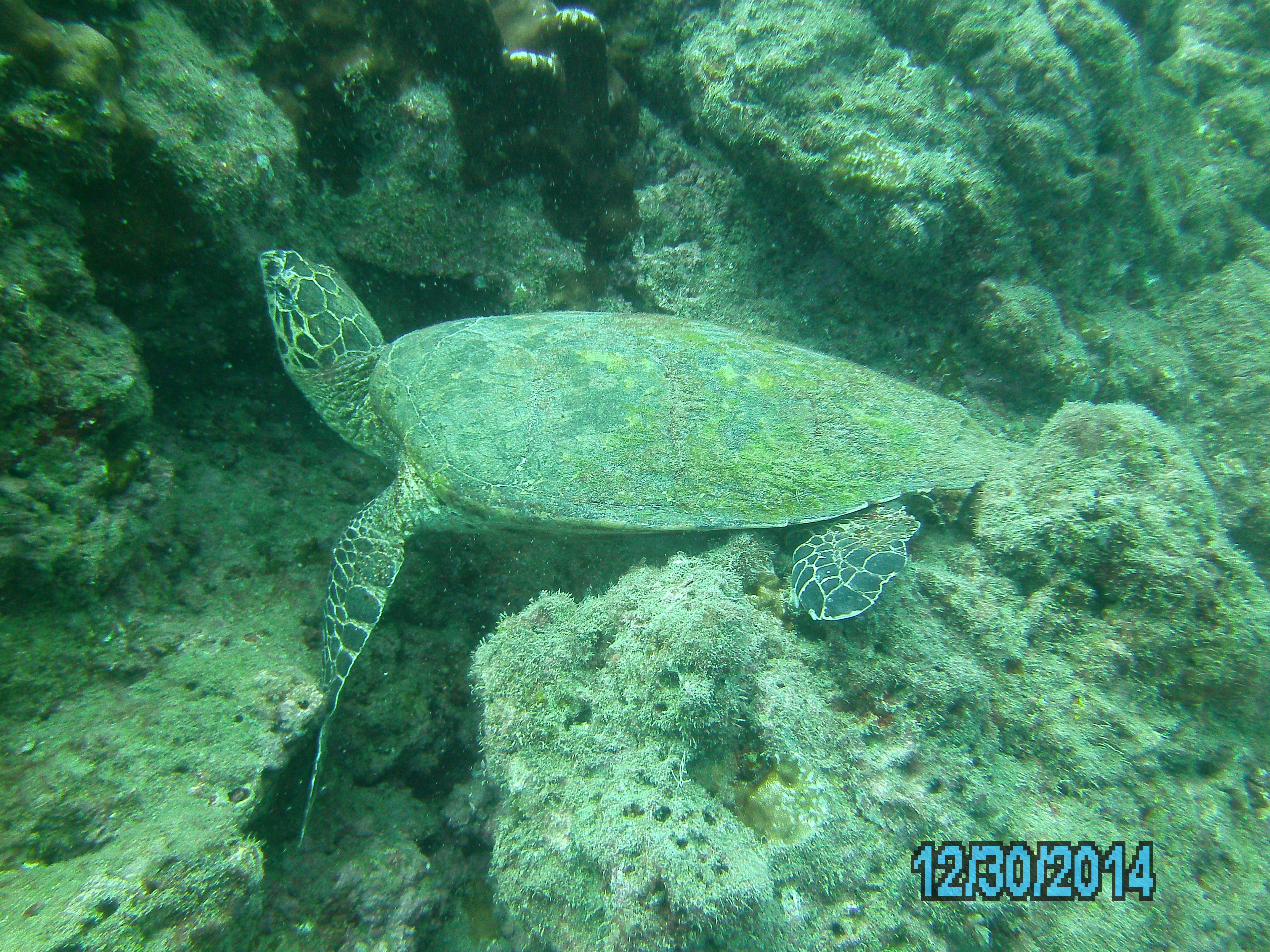 Isla Caño – Tauchen in Costa Rica: Meeresschildkröte