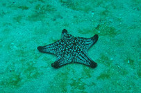 Isla Caño - Tauchen in Costa Rica: Seestern