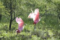 Rancho Humo Estancia - Rosalöffler im Feuchtgebiet