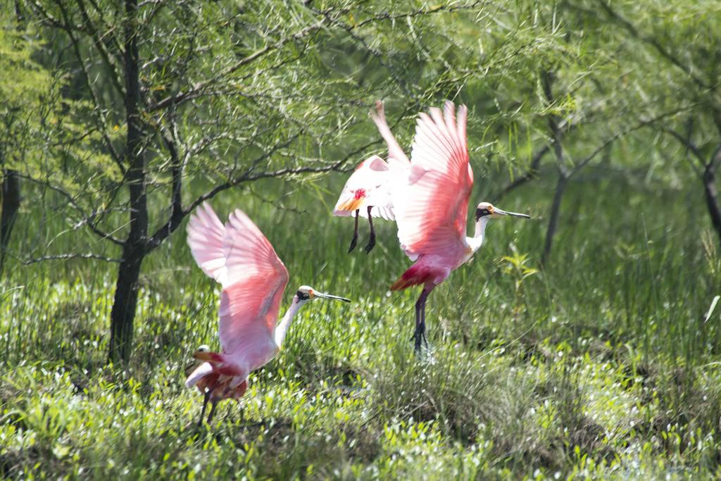Rancho Humo Estancia – Rosalöffler im Feuchtgebiet