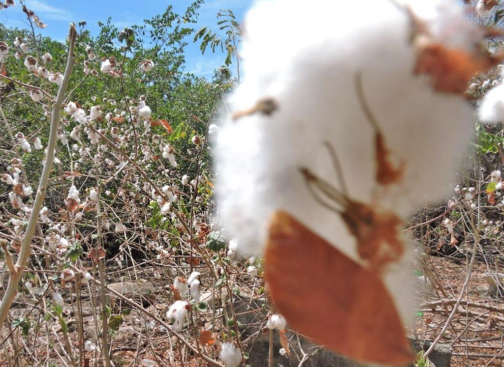 Maro Tours – Insel Chira: Baumwolle