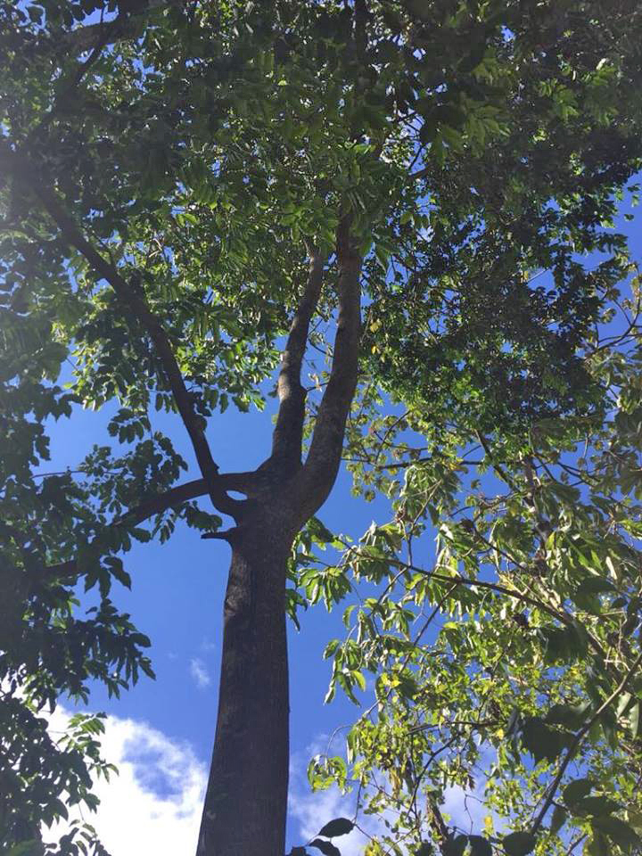 """Balsambaum """"Chirraca """", ca. 50 Jahre alt"""