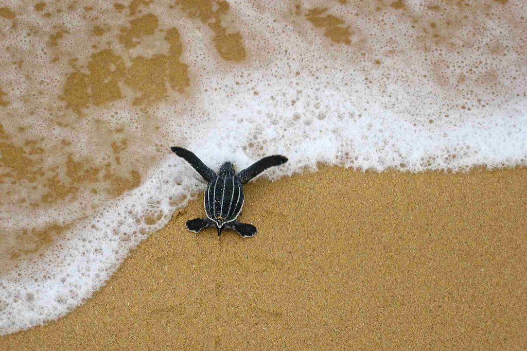 Barra de Pacuare lederschildkröte auf dem Weg zum Meer